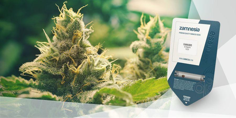 Wie Man Cannabistee Macht