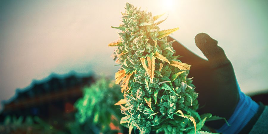 Blütephase Von Cannabis