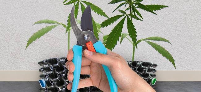vom potentesten Marihuana auf dem Planeten Erde anzubauen