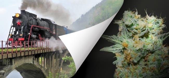 Baikal Express (Kalashnikov Seeds)