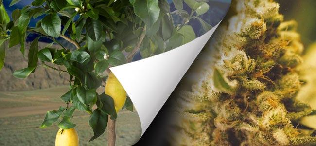 Lemon Kush (Female Seeds)