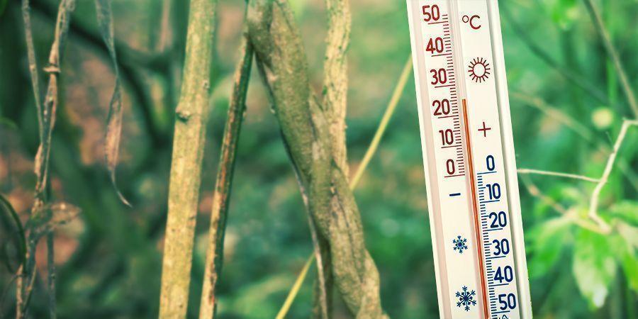 Sorge Für Eine Warme Und Feuchte Anbauumgebung - Banisteriopsis Caapi