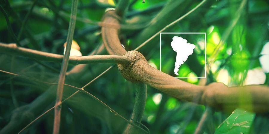 Was Ist Banisteriopsis Caapi Und Warum Solltest Du Deine Eigene Pflanze Anbauen?