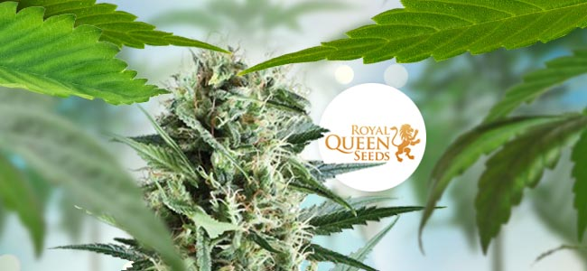 Royal Cookies (Royal Queen Seeds)
