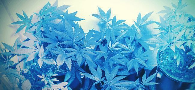 Nutze Beim Anbau Von Cannabis Das Lichtspektrum Zu Deinem Vorteil
