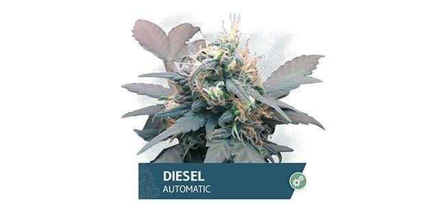 Diesel Automatic (Zamnesia Seeds)