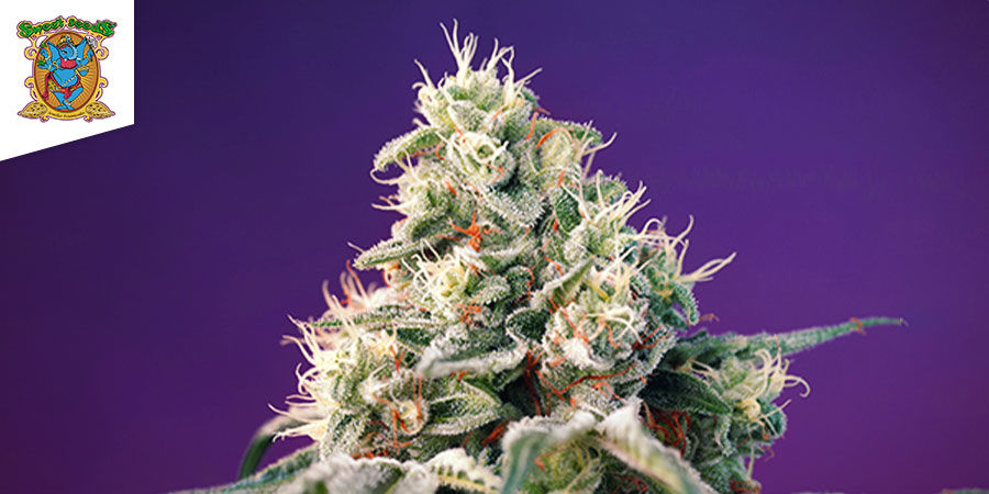 Bruce Banner Auto (Sweet Seeds)