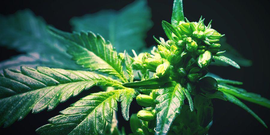 Wie Man Cannabispflanzen Rückkreuzt