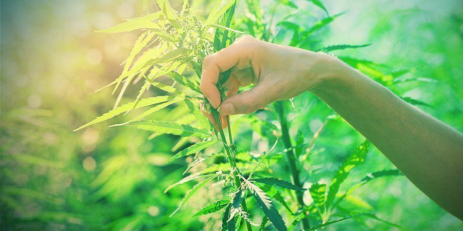 Wie Man Cannabis Pflanzen Zum Züchten Selektiert