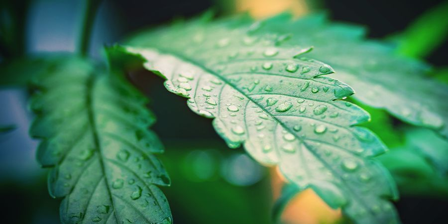 bewässerung von cannabispflanzen