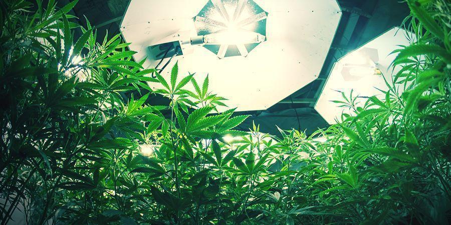 Autoflowering Cannabis Pflanzen