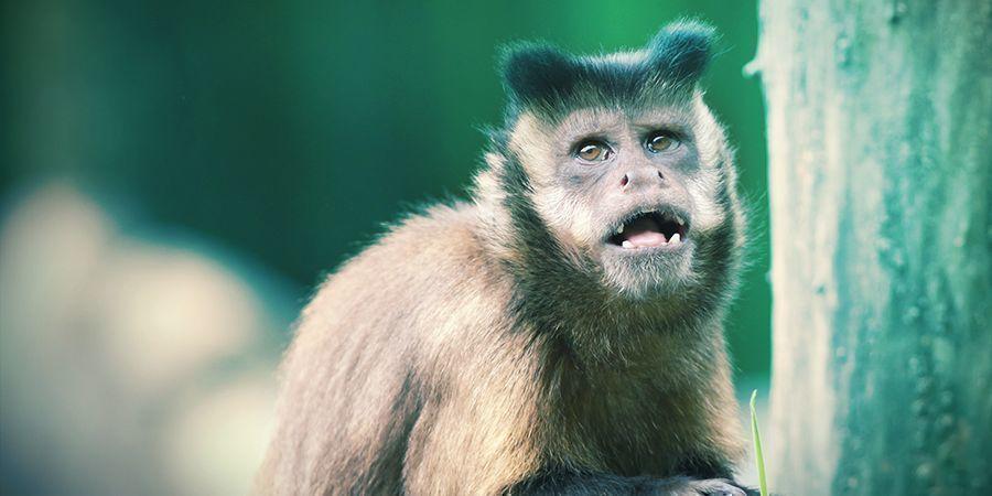 Kapuzineräffchen Und Lemuren Die Es Lieben Sich Zu Berauschen - Halluzinogene Tausendfüßler