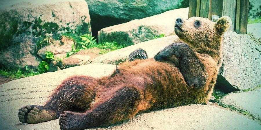Bären Die Es Lieben Sich Zu Berauschen - Pilze Und Flugzeugkraftstoff