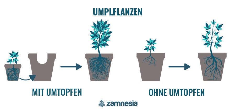 Umpflanzen Cannabispflanze