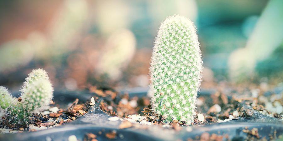 Wie Du Deinen Trockenen Und Verhärteten Kaktus-steckling Eintopfst