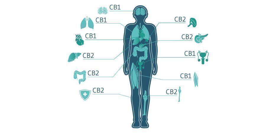 Wird CBC In Der Cannabis-medizin Zukünftig Eine Rolle Spielen?