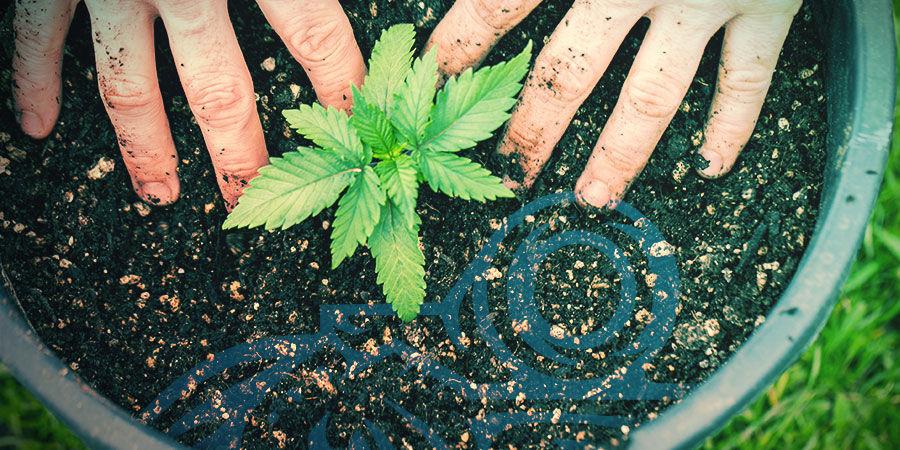 Die Kreuzung Von Cannabissorten: Kreiere Deine Eigenen Sorten Bei Dir Zuhause