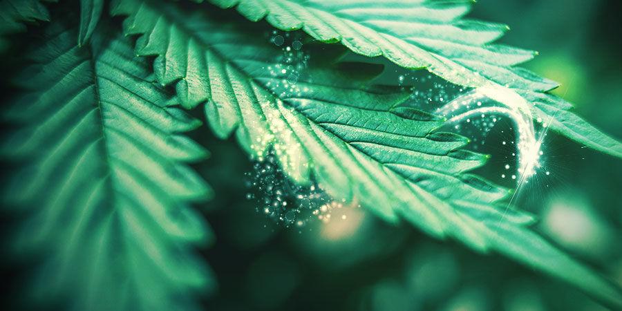 Die Auswahl Des Richtigen Cannabis-Phänotyps Für Die Kreuzung