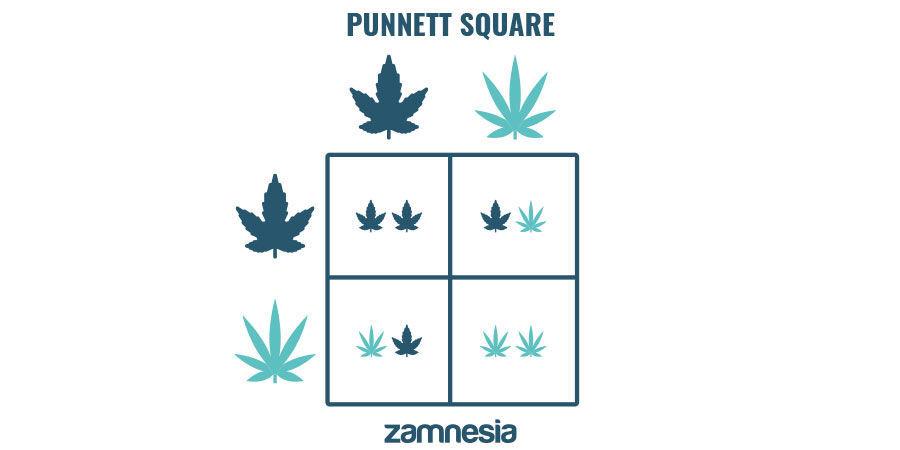 Dominante Und Rezessive Cannabis-Genetik Verstehen