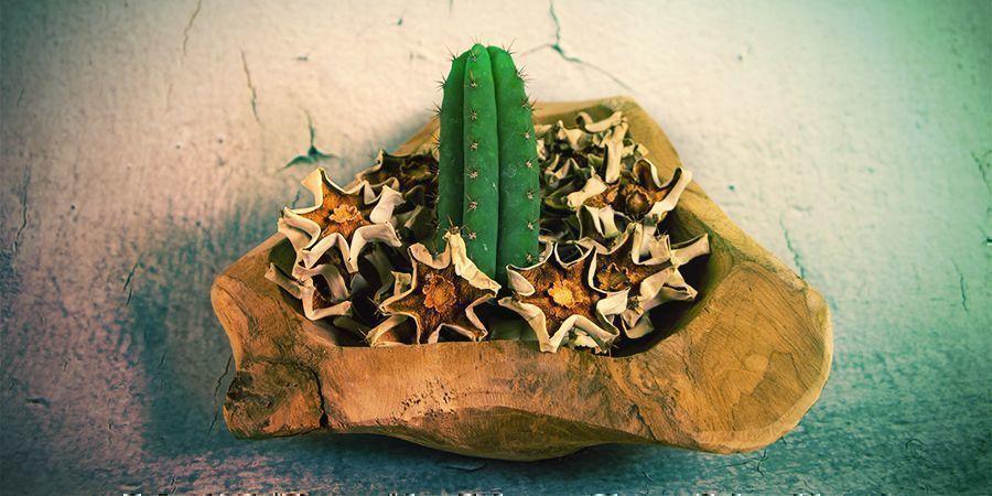 Die Mehrheit Der Meskalin-alkaloide Befinden Sich In Der Außenhaut Des Kaktus