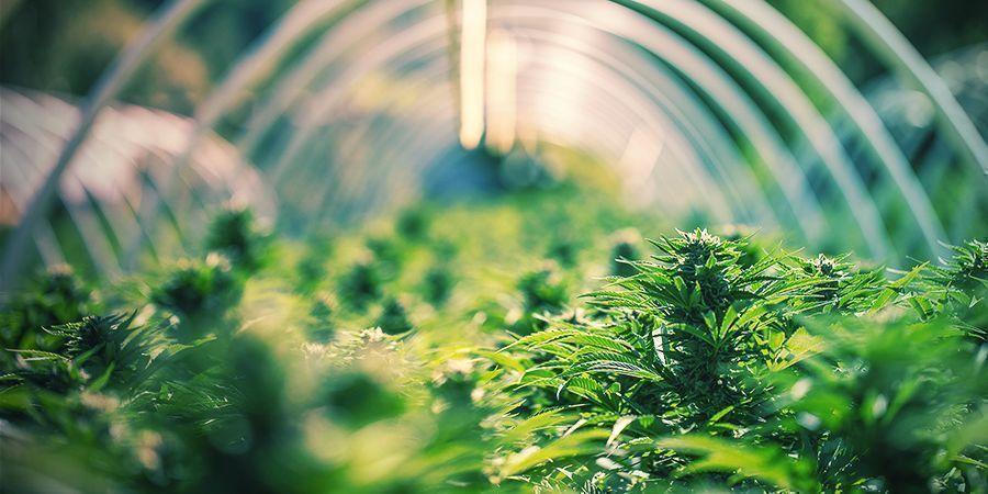 DER ALTE THC-WAHN