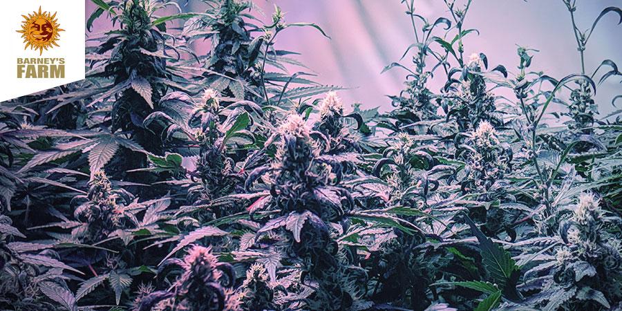 Barney's Coffeeshop - Beste Hybrid-Cannabis Amsterdam
