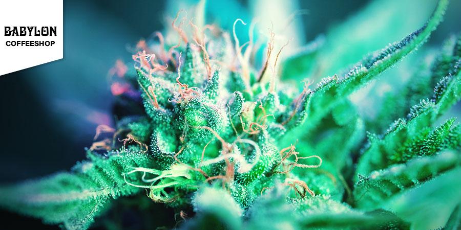 Babylon Coffeeshop - Beste Hybrid-Cannabis Amsterdam