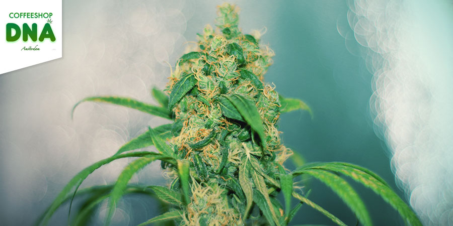 Coffeeshop DNA - Beste Hybrid-Cannabis Amsterdam
