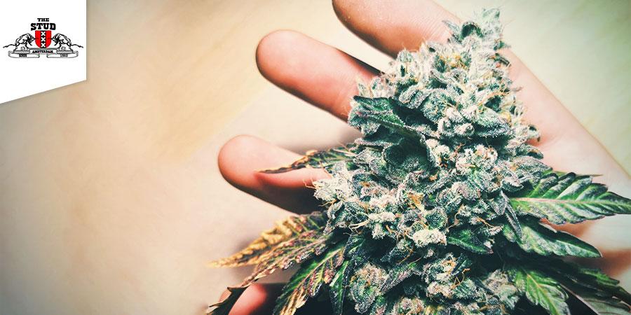Coffeeshop The Stud - Beste Hybrid-Cannabis Amsterdam