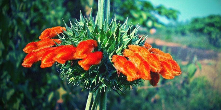 Afrikanisches Löwenohr Blume