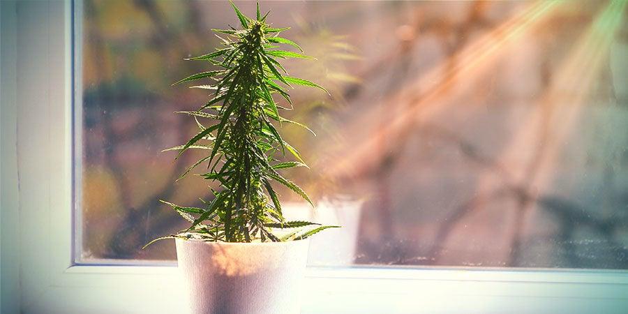 Was Man Von Außerhalb Eines Grow Rooms Angebautem Cannabis Erwarten Kann