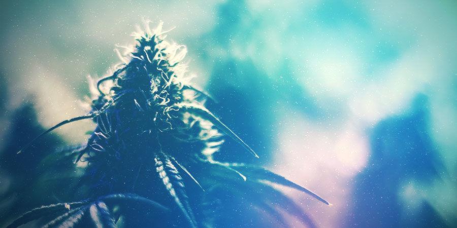 Cannabis-Zuchtraum: Die Richtige Sorte Anbauen