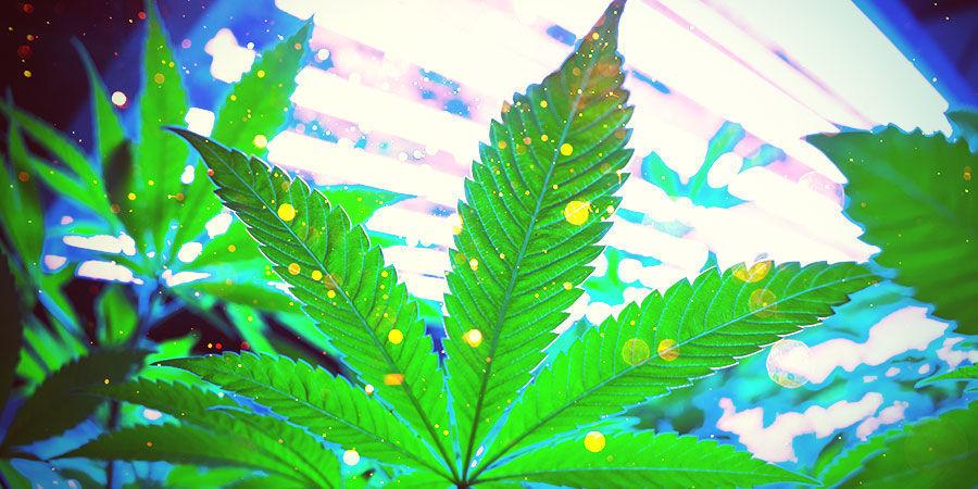 Cannabis-Zuchtraum: Beleuchtung