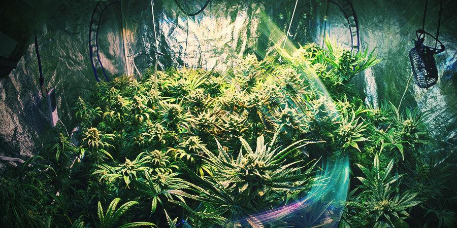 Cannabis-Zuchtraum: Wähle Den Passenden Raum