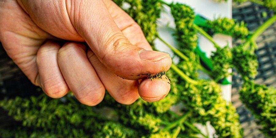 Welche Cannabissorten Eignen Sich Am Besten Für Die Herstellung Von Jelly Hash?