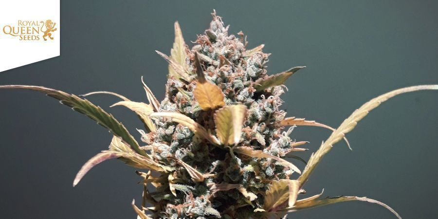 Royal Haze Automatic (Royal Queen Seeds)