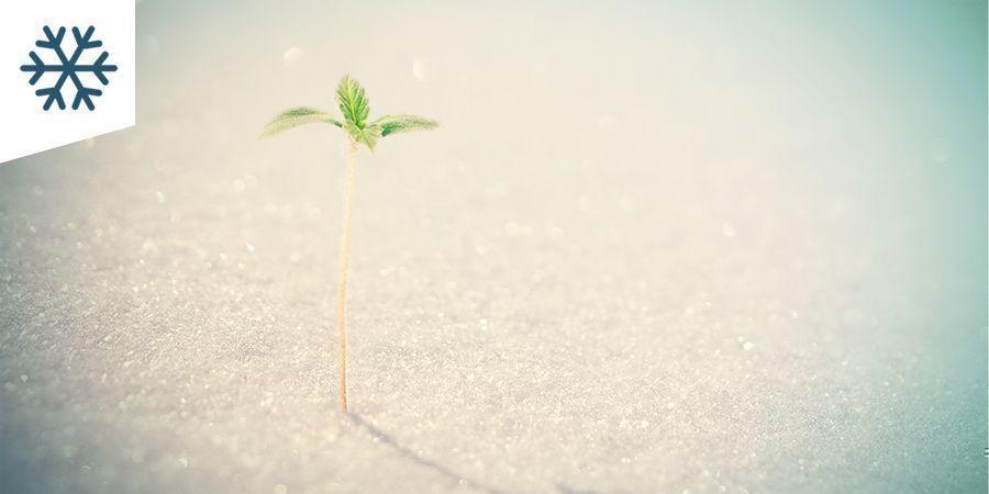 Der Cannabisanbau In Kaltem Klima