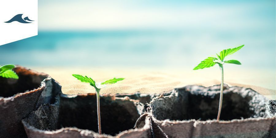 Der Cannabisanbau In Maritimen Klimazonen