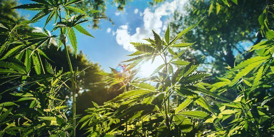 Weitere Tipps für große Cannabispflanzen