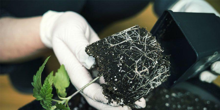 Air Pruning - Produktiver Cannabispflanzen
