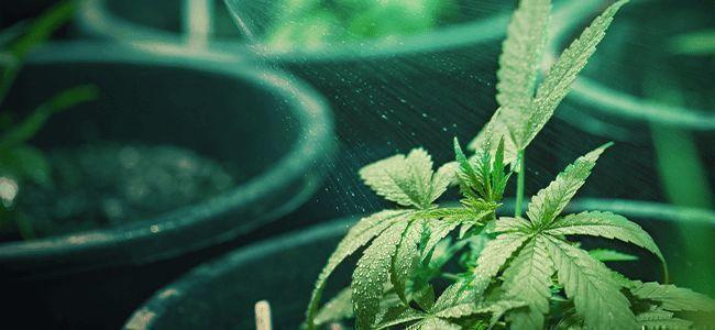 Wie Soll Man Wissen, Wann Die Cannabis Pflanze Wasser Braucht - Und Wie Viel?