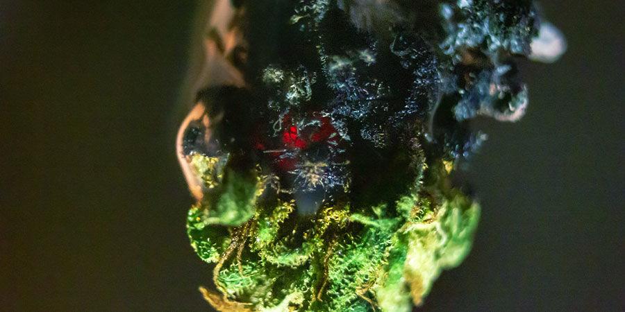Arten von Cannabisverunreinigungen: Brix-Dünger