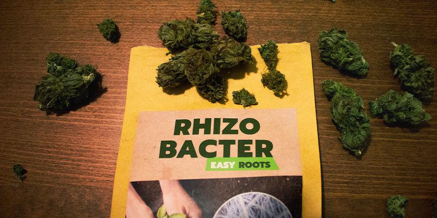 Wie fördern Rhizobakterien das Cannabiswachstum?