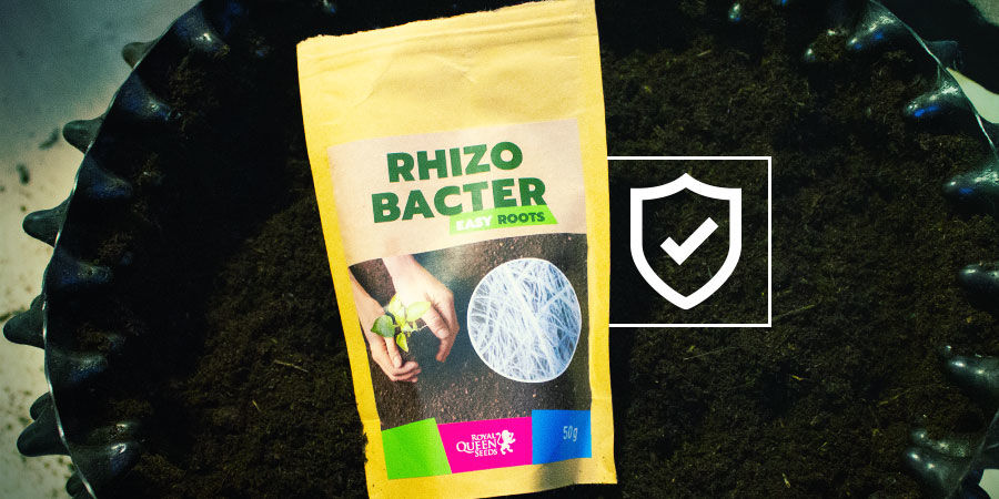 Wie schützen Rhizobakterien Cannabispflanzen?
