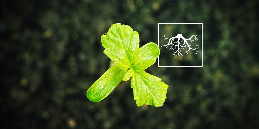 Was sind Rhizobakterien, die das Wachstum von Cannabispflanzen fördern (PGPR)?