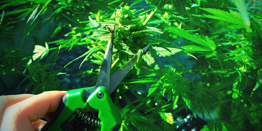 Kleine und große Schere - Cannabisanbau