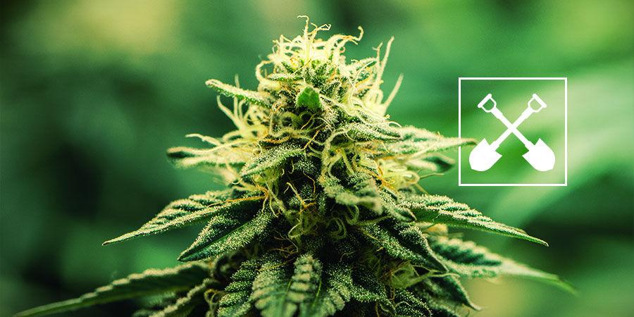 Was ist für jeden Cannabisanbau erforderlich?
