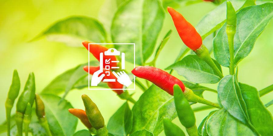 Chilis Anbauen Für Anfänger: Plane Anbau