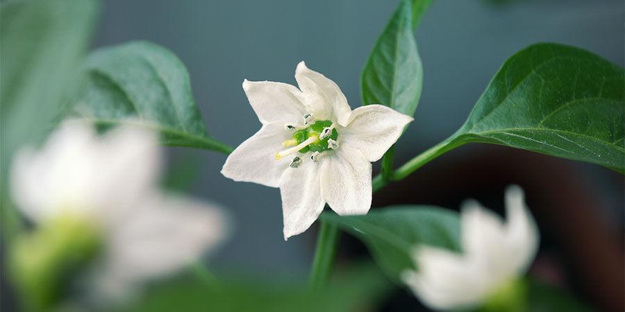 Chilis Anbauen Für Anfänger: Entferne frühe Blüten