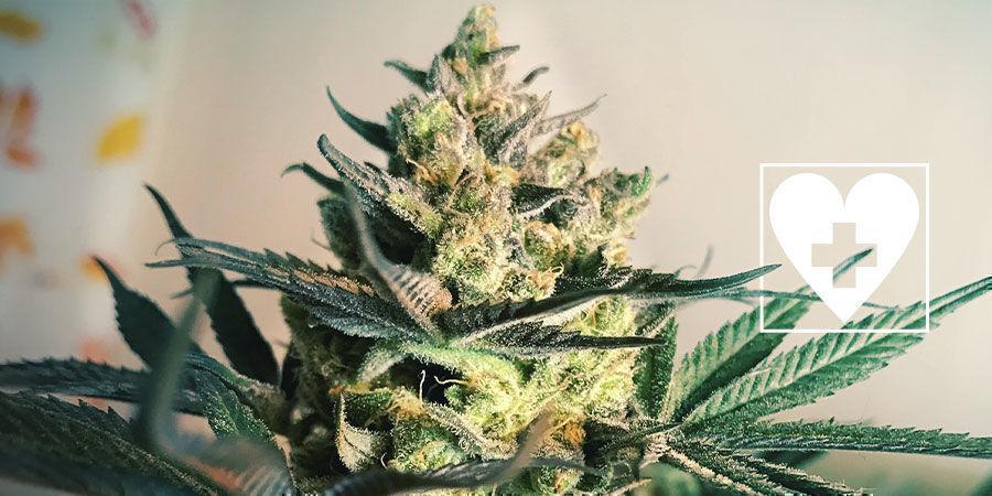Neue CBD-Cannabissorten - Royal Queen Seeds